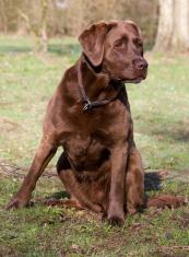 Sitting Labrador
