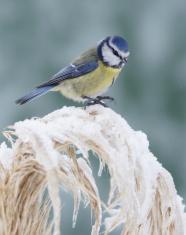 Bluetit in wintertime