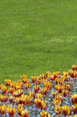 tulip and lawn