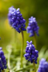 violet hyacinths