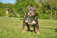 Canine Tricolor Purebred American Bully Puppy Dog in Friendly Pa