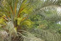 Dubai, UAE - Date Palm Tree in bloom