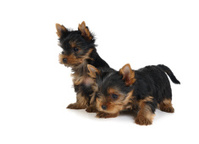 Two lovely puppies