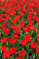 Red Tulips Garden in Spring Season