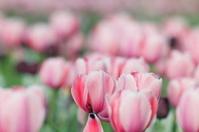 blooming pink tulip in garden