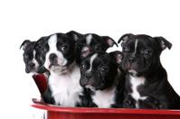 Alert Boston Terrier Puppies