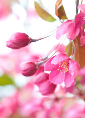 Pink Crabapple Blossom & Buds in Spring