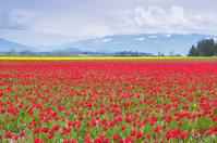 Tulip Fields Blooming in the Skagit Valley