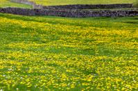 Curlew sitting in a field of Dandelions