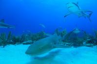 Nurse Shark and Reef Sharks