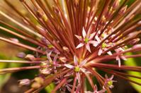 Alium Flower Close up