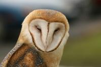 Owl - close up
