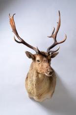 Fallow Deer Buck Trophy Mount