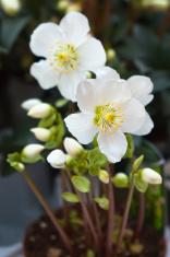 snow-white anemones in a pot