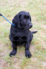 Portrait of a black lab puppy