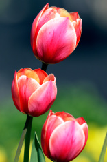 Three red tulips on flowerbed