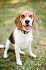 Beagle on the grass