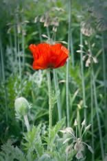 Scarlet Oriental Poppy