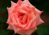 Orange Rose Close up.