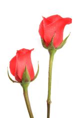 Two Long Stemmed Roses