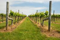 nice vineyard in spring