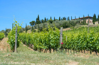 Vinyard in Tuscany