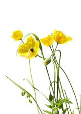 yellow poppy and bee