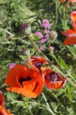 Papaver Poppies wild temperate flowers