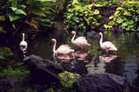 Pink Flamingos Swimming