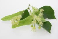 flower of tilia