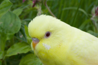 Budgie in grass