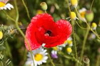 close up of poppy