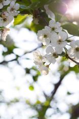Prunus Avium,Wild Cherry Against Sunlight.