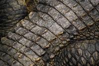 Crocodile skin detail