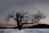 Bare tree in winter evening