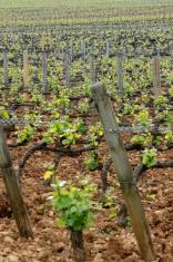 vineyard on the hills of Burgundy