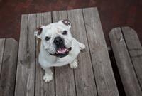 Looking Down at Mature Female English Bulldog on Picnic Table