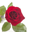 Frontal Rose on White
