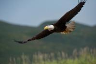 american bald eagle in flight over alaska coastal mountains