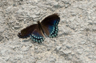 Brown and Blue Moth