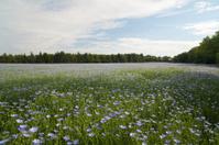 Linseed Flax Field