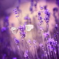 Butterflies on lavender