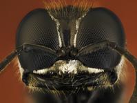 Solitary wasp, Ectemnius species