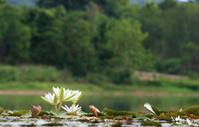 White lotus on lake