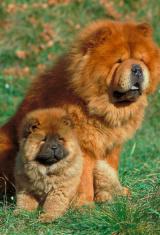 Animals dog chow