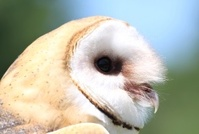 face of owl