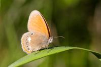 Orange furry butterfly on a leaf