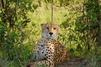 Cheetah in wild Kenya