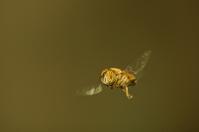 Fly in flight (Eristalinus Taeniops)