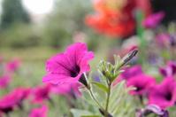 Picturesque flower petunia.